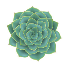 Green Succulent Plant From Top View. Realistic Vector Illustration, Isolated On White For Natural Design