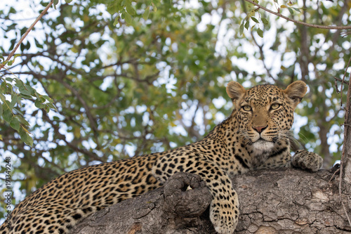 Deurstickers Luipaard Leopard (Panthera pardus) on a branch of a tree, Kruger National Park, South Africa, Africa