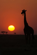 Silhouette Of Giraffe (Giraffa Camelopardalis) At Sunset, Serengeti National Park, Tanzania