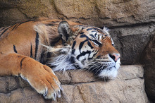 Sumatran Tiger Sleeping