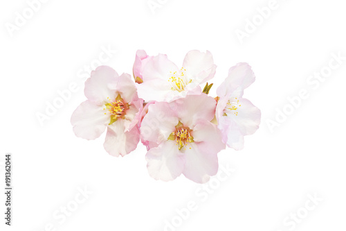 Beautiful almond flowers isolated on white background Poster