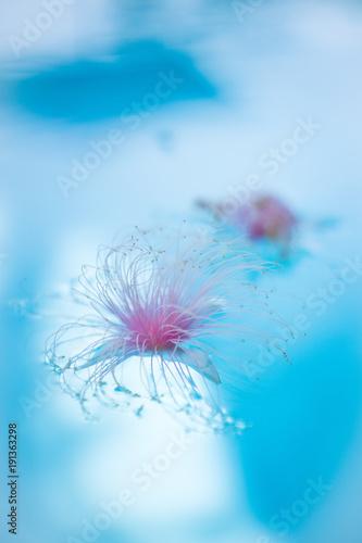 rozowy-dandelion-unosi-sie-na-blekitnej-wodzie-plywacki-basen