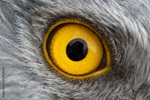 Garden Poster Eagle eagle eye close-up, macro photo, eye of the male Northern Harrier