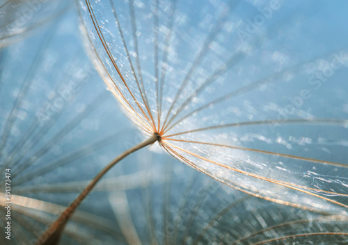 Foto auf Gartenposter Lowenzahn gentle natural backdrop of the fluffy seeds of the dandelion flower close-up