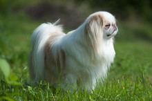 Rare Brown Japanese Chin Or Japanese Spaniel Standing On Meadow.