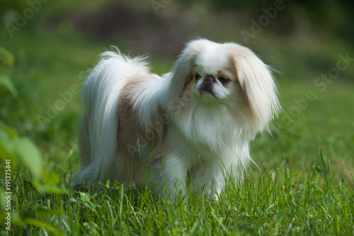 Obraz na plátne Rare brown Japanese Chin or Japanese Spaniel standing on Meadow.
