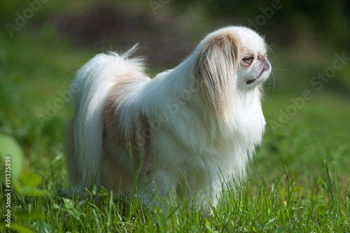 Fototapeta Rare brown Japanese Chin or Japanese Spaniel standing on Meadow.