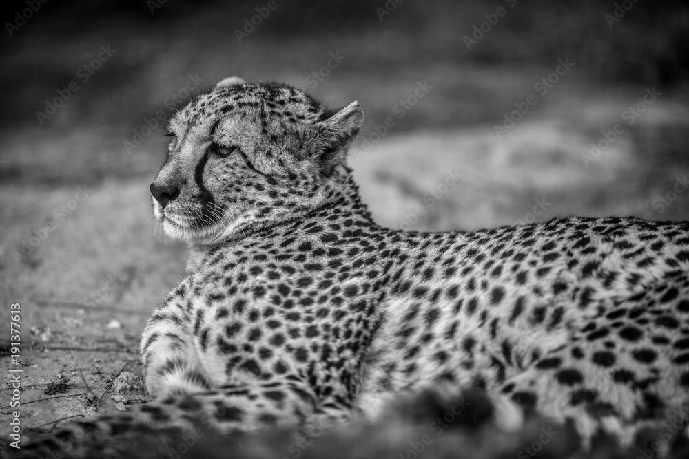 Beautiful Wild Cheetah resting on green fields, Close up, in Black and White