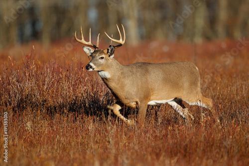 Deurstickers Hert White-tailed Deer