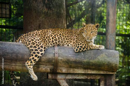 Deurstickers Luipaard Leopard resting