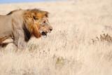Löwe in Namibia - Afrika
