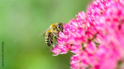 Foto op Aluminium Bee Biene auf pinkfarbener Blüte