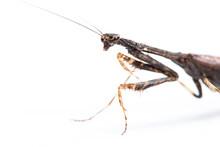 Praying Mantis On White
