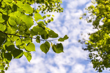 Linden Leaves On A Background Of Clouds