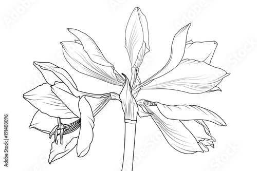 Amaryllis hippeastrum lilly flower isolated black and white outline amaryllis hippeastrum lilly flower isolated black and white outline sketch drawing spring floral bouquet foliage mightylinksfo