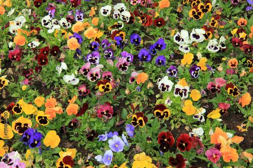 Papiers peints Pansies Multicolored pansies