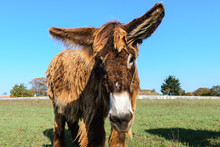 Poitou Donkey At  Ré Island