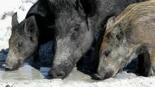 A Wild Boar With Piglets Seek ...