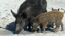 A Wild Boar With Piglets Eat S...