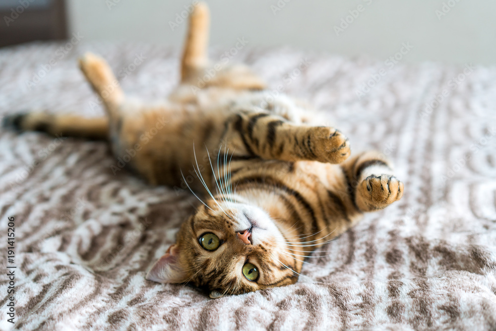 Cute bengal cat living in the modern apartment. Playing around the furniture. Cute pussy eyes.
