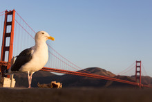Seagull With A Trash Paper.