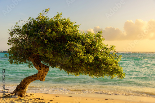 A Divi Tree on the beautiful shore of Baby Beach, Aruba. Poster
