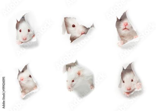 White rat head white background