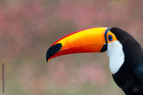 In de dag Toekan Toco toucan of Brazil.CR2