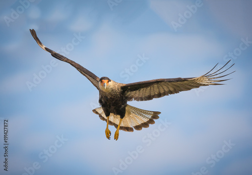 Fotografering  Black crested caracara in flight over the Pantanal, Brazil