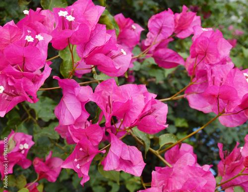 Foto op Canvas Azalea Beautiful bougainvillea flowers backlit by afternoon sun