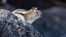 Close Up Of Little Chipmunk Pe...