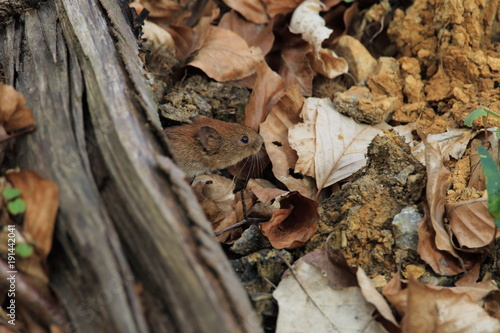 Foto op Canvas Eekhoorn bank vole (Myodes glareolus; formerly Clethrionomys glareolus) Germany