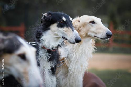 Portrait of a Borzoi dog closeup outdoors, on nature background Fototapeta