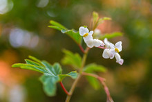 Begonia X Hybrida, Baby Wing White Flower With Yellow Stamen, Blurred Background With Bokeh
