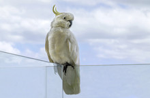 Sulphur-crested Cockatoo (Caca...
