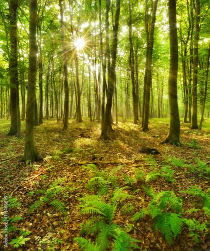 Fotobehang Bossen Die Sonne strahlt durch naturnahen Buchenwald, Farn bedeckt den Waldboden