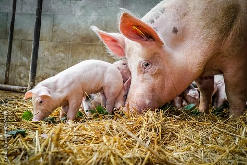 Fotografie, Obraz  Bio - Schweinehaltung, Muttersau mit Ferkeln