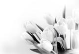 Fototapeta Tulipany - White tulips on white background bw