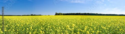 Spoed Foto op Canvas Blauwe hemel Ackerbau - gelb blühendes Rapsfeld, Panorama