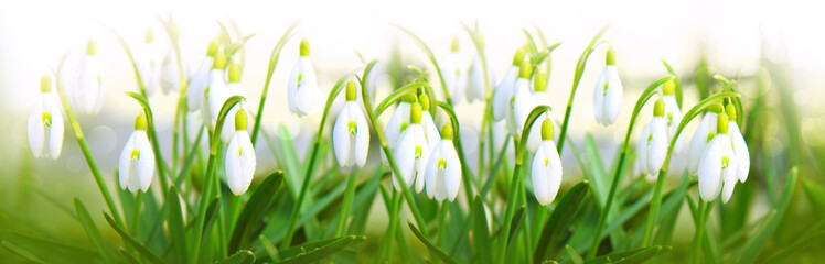 Panel SzklanySnowdrop flowers background.