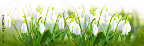 Spoed Foto op Canvas Natuur Snowdrop flowers background.