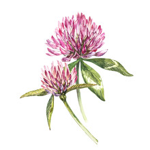 Two Flowers Of Red Clover With...