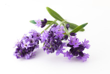 Lavender Flowers In Closeup. B...