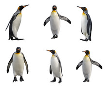 King Penguin Set Isolated On White