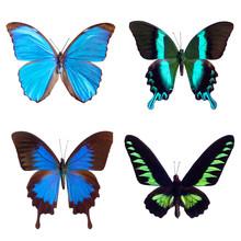 Butterfly Tropical Set: Morpho Menelaus, Brasil; Papilio Blumei; Papilio Ulysses, Papua New Guinea; Trogonoptera Brooklana, Malaysia. Isolated On White Background