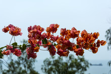 Beautiful Tropical Flowers Bougainvillea With Red Blossoms
