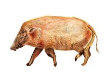 Watercolor Red River Hog