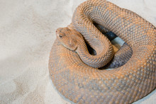 Coiled Rattlesnake – A Rattl.