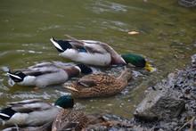 The Feeding Ducks On Shore