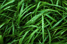 Tall Green Grass With Dew Drop...